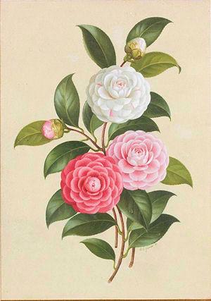 a.camelliaf.1.jpg