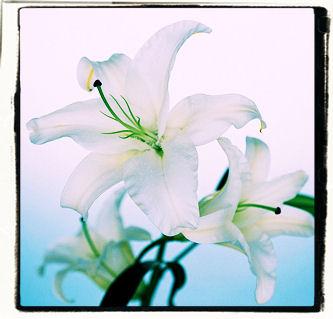 lily4.jpg