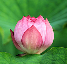 lotus4.jpg