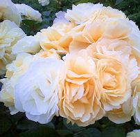 rose8.jpg