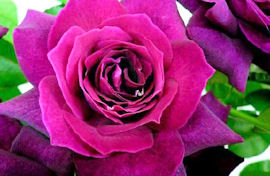 rose9.mariakaras.jpg